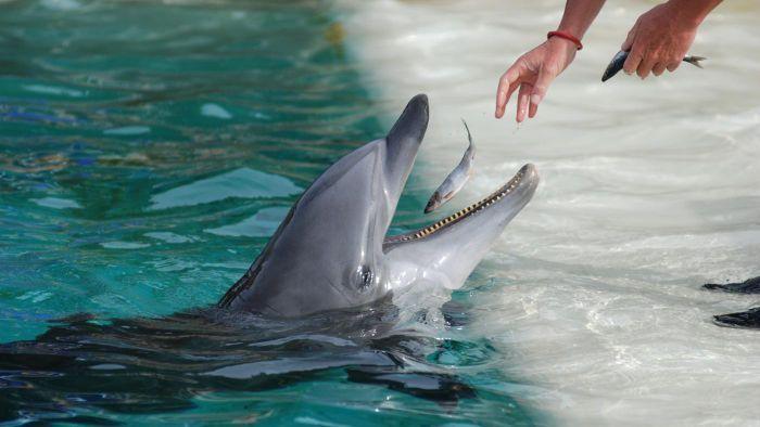 Dolphin blowjob clip