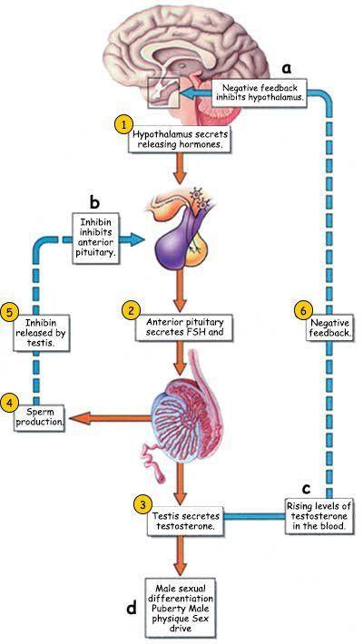 best of In sperm Testosterone