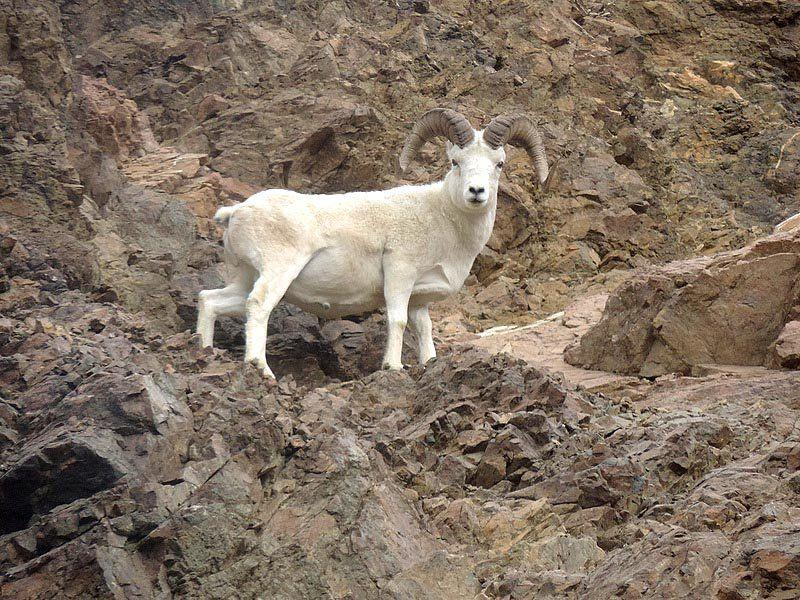 best of Goat Asian mountain