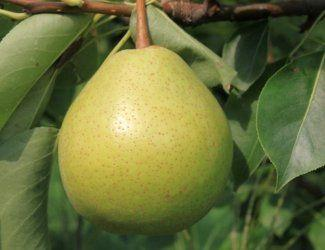Nightcap reccomend Asian pear fruit trees pennsylvania nursery