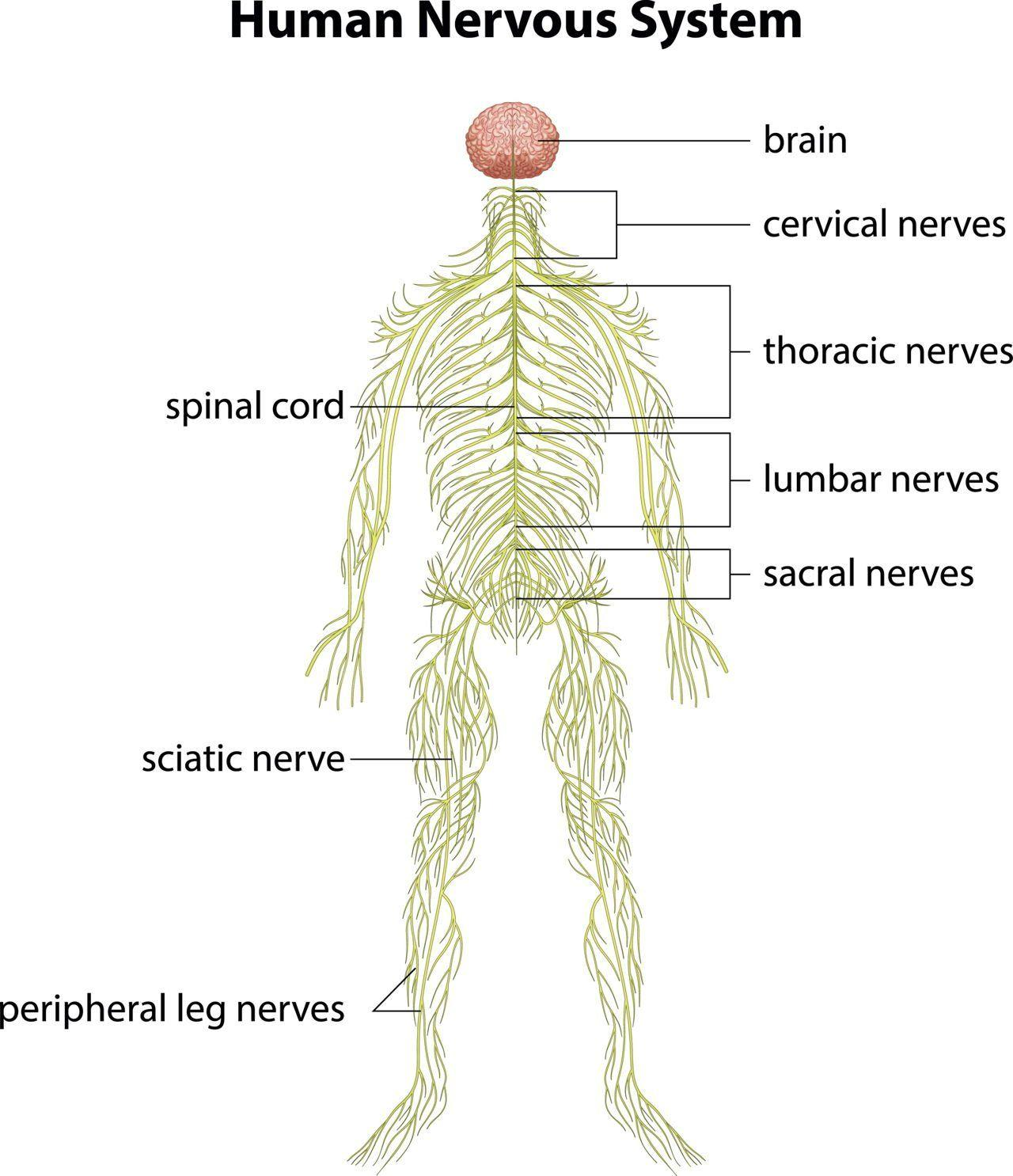 Adult body human in many mile nerves