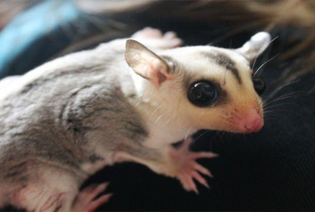 Jet S. reccomend Sugar glider makes noise when peeing